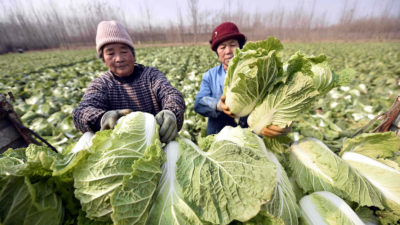 """How come a cabbage in Jun County costs 39 RMB?"", the article on GMW.cn indicates that the food crisis may have arrived in Communist China."